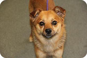 Pomeranian Mix Dog for adoption in Greensboro, North Carolina - King
