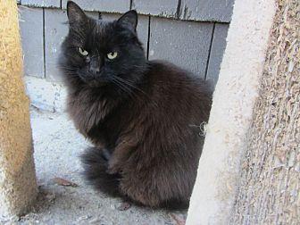 Domestic Mediumhair Cat for adoption in Kingston, Washington - Mardi