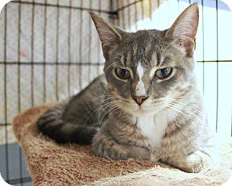Domestic Shorthair Kitten for adoption in New Richmond,, Wisconsin - Mr. Kidd