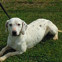 Dalmatian Mix Dog for adoption in Minneapolis, Minnesota - Daisy Dalmatian