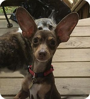 Dachshund Mix Dog for adoption in Fairfax Station, Virginia - Rambo