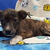Adopt A Pet :: Obi-Wan Kenobi - Modesto, CA