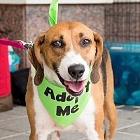 Hound (Unknown Type) Mix Dog for adoption in Richmond, Virginia - Holly