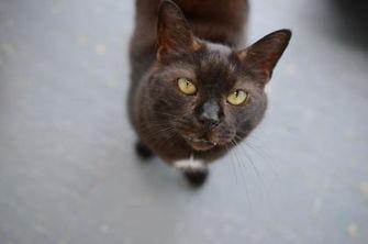 Domestic Shorthair/Domestic Shorthair Mix Cat for adoption in New Freedom, Pennsylvania - Maverick