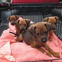 Adopt A Pet :: HARRIET - Williston Park, NY