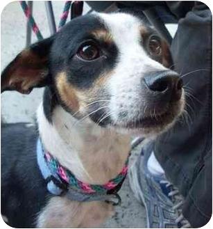 Rat Terrier Mix Dog for adoption in Vista, California - Victoria