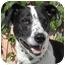 Photo 1 - English Pointer/Pointer Mix Dog for adoption in El Segundo, California - Cowboy
