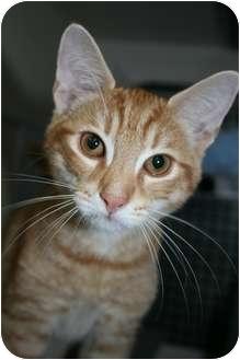 Domestic Shorthair Kitten for adoption in Frederick, Maryland - Drake
