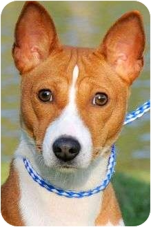 Basenji Dog for adoption in Wakefield, Rhode Island - CHICKA(PUREBRED BASENJI!!! WOW