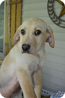 Labrador Retriever Mix Puppy for adoption in Salem, Massachusetts - Hailey,Hillary &Harper