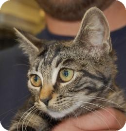 Domestic Shorthair Kitten for adoption in Brooklyn, New York - Aubree