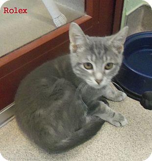 Domestic Shorthair Kitten for adoption in Slidell, Louisiana - Rolex