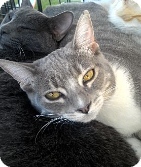 Domestic Shorthair Cat for adoption in Phoenix, Arizona - Stompie