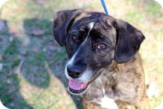 Pit Bull Terrier Mix Dog for adoption in Gainesville, Florida - Wendy
