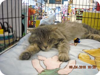 Domestic Mediumhair Cat for adoption in Riverside, Rhode Island - Bentley