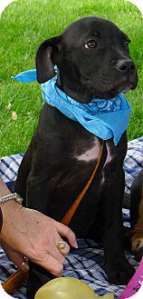 Labrador Retriever/Border Collie Mix Puppy for adoption in Sacramento, California - Rokkie mellow easy pup