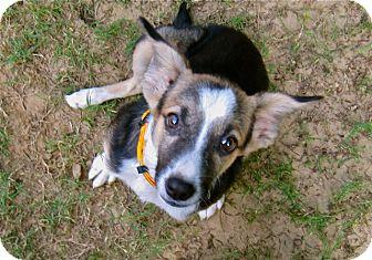 Hound (Unknown Type)/Terrier (Unknown Type, Medium) Mix Puppy for adoption in Monroe, New Jersey - Rafa