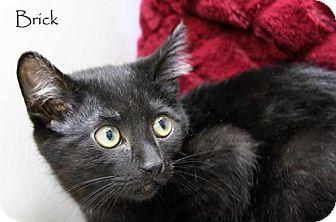 Domestic Shorthair Cat for adoption in Covington, Kentucky - Brick
