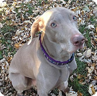 Weimaraner Dog for adoption in Grand Haven, Michigan - Apollo