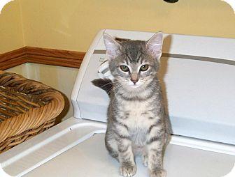American Shorthair Kitten for adoption in Orlando, Florida - Sandy