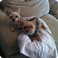 Adopt A Pet :: Richard - Goodyear, AZ