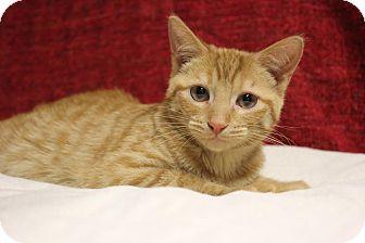 Domestic Shorthair Kitten for adoption in Midland, Michigan - Rusk