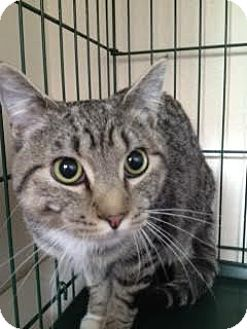 Domestic Shorthair Cat for adoption in Divide, Colorado - Boots