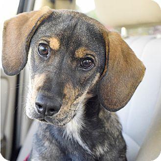 Beagle Mix Dog for adoption in Marietta, Georgia - Gunther