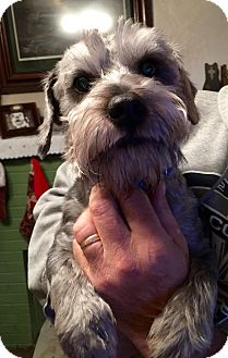Schnauzer (Miniature)/Poodle (Toy or Tea Cup) Mix Dog for adoption in ST LOUIS, Missouri - Hanz & Franz
