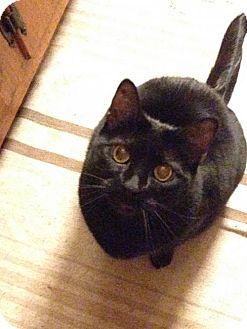 Domestic Shorthair Cat for adoption in Harrisonburg, Virginia - Shyanne