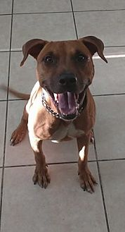 Mountain Cur Mix Dog for adoption in Lakeland, Florida - Luca