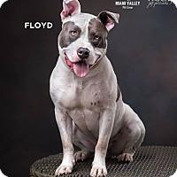 Adopt A Pet :: Floyd - Dayton, OH