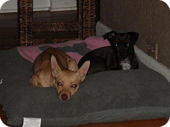 Chihuahua Dog for adoption in Cedar Rapids, Iowa - Farrah