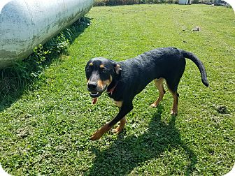 Hound (Unknown Type)/Labrador Retriever Mix Dog for adoption in Moberly, Missouri - Lex Luthor