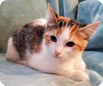 Domestic Shorthair Kitten for adoption in East Hartford, Connecticut - Sassy - pending adoption