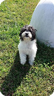 Shih Tzu/Poodle (Miniature) Mix Dog for adoption in Owenboro, Kentucky - BELLA