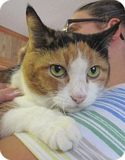 Calico Cat for adoption in Reeds Spring, Missouri - Itty Bit
