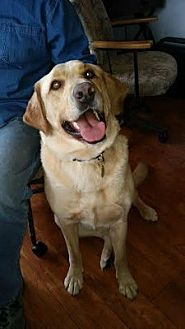 Labrador Retriever Dog for adoption in Minnetonka, Minnesota - Ruffus