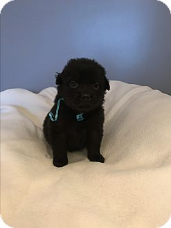 Labrador Retriever Mix Puppy for adoption in Barrington, Illinois - Cubbie