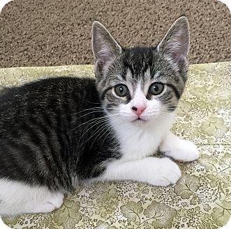 Domestic Shorthair Kitten for adoption in Troy, Michigan - Mistletoe