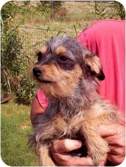 Yorkie, Yorkshire Terrier/Schnauzer (Miniature) Mix Dog for adoption in clinton, Oklahoma - Dixie