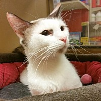 Snowshoe Cat for adoption in McKinney, Texas - Capucine A gorgeous little Snowshoe