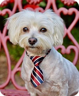 Maltese/Poodle (Miniature) Mix Dog for adoption in Irvine, California - Bobby