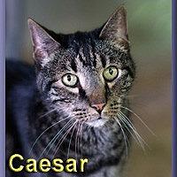 Adopt A Pet :: Caesar - Aldie, VA