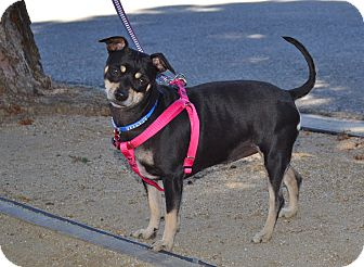Miniature Pinscher Mix Dog for adoption in Simi Valley, California - Kiki