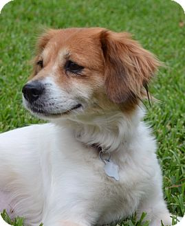 Brittany/Cavalier King Charles Spaniel Mix Dog for adoption in Augusta, Maine - DAISY