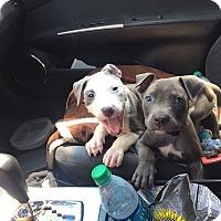 Adopt A Pet :: Griffin - Villa Park, IL