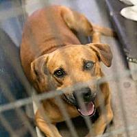Labrador Retriever/American Pit Bull Terrier Mix Dog for adoption in Phoenix, Arizona - CANELO