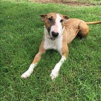 Adopt A Pet :: Rosie - Dallas, TX