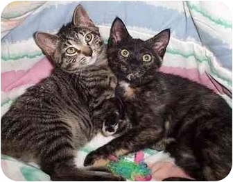 Calico Kitten for adoption in Randolph, New Jersey - Chloe and Buddy